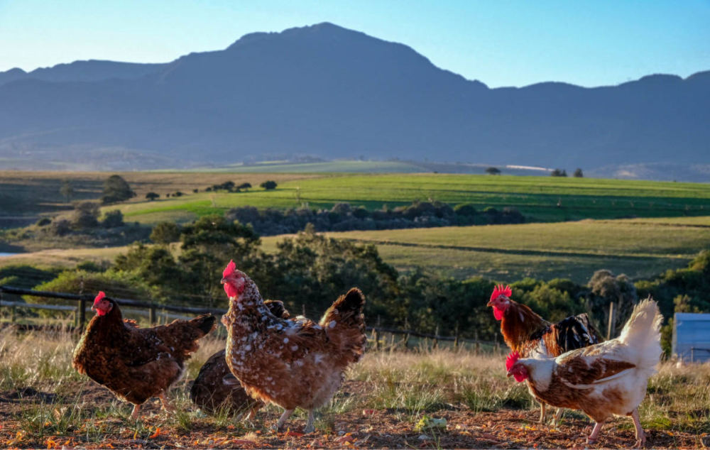 Red Barn Free Range Farm Hens